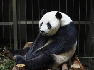 Did China's Giant Panda Ai Lin Fake Pregnancy to get More Food?