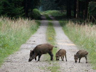 Chernobyl Disaster Leaves Radioactive Wild Boars Roaming Germany