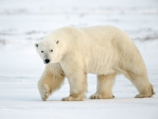 Polar Bear DNA From Footprints in Snow Could Boost Conservation Efforts