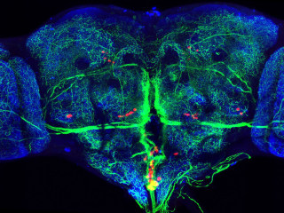 BRAIN Initiative: Scientists Control Mouse Behavior With On-Off Switch