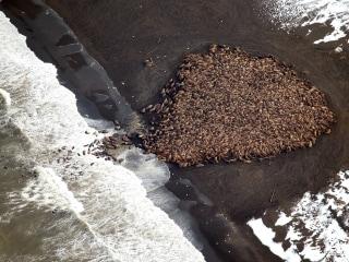 Wildlife Officials Warn Pilots to Avoid Massive Walrus Herd