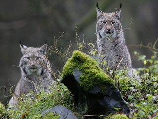 Carnivore Comeback: Wolves, Bears and Lynx Thrive in Europe