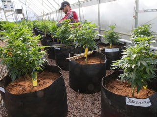 Pesticide, Herbicide Used by Pot Growers Raises Safety Concerns