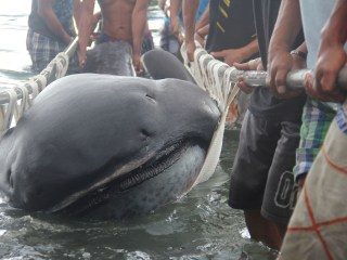 Rare Megamouth Shark Washes Up in Philippines