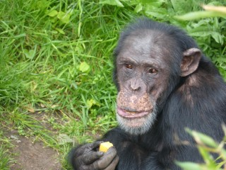 Lawyers Fight for Chimpanzee Rights in New York Court