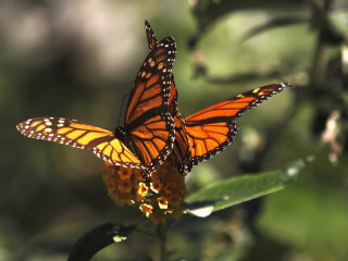 NRDC Sues EPA Over Demise of Monarch Butterfly Population