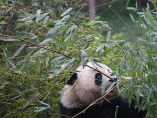 Panda News: China's Latest Survey Finds Wild Population Grows