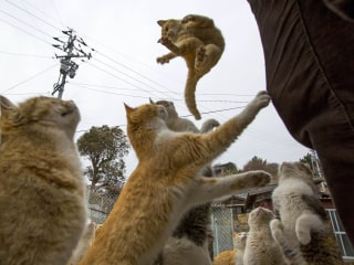 Kitty Paradise or Catastrophe? Felines Swarm Japanese Island