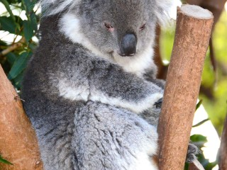 Australia Secretly Culled Hundreds of Koalas