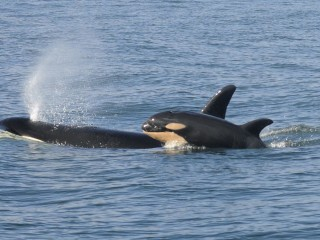 Female Killer Whales Take Leadership Roles After Menopause: Study