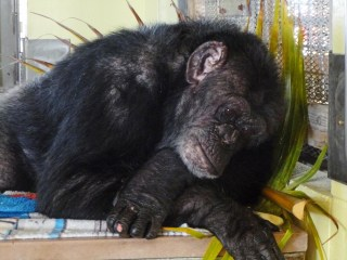 Iris the Chimpanzee Finds Love at Florida Sanctuary