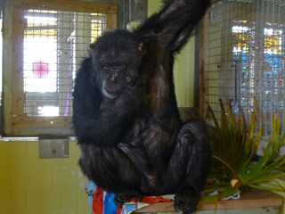 Iris the Chimpanzee Finds Love at Florida Sanctuary