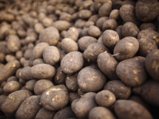 USDA Approves Genetically Engineered Potatoes