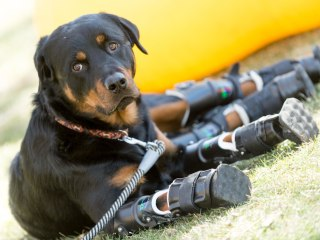 Brutus the Rottweiler Becomes Second Dog to Walk on Four Prosthetic Limbs