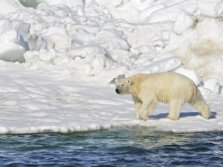 Land Food Not Enough for Polar Bears Driven Off Ice by Warming: Study