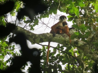 Photo of Rare Red Colobus Monkey Proves It's Not Extinct