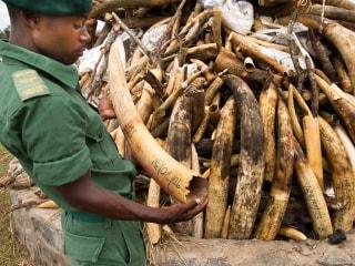 Top Spy Agencies Help Break Wildlife Trafficking Rings