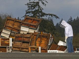 Semi Crash Spills Millions of Bees On Washington Highway
