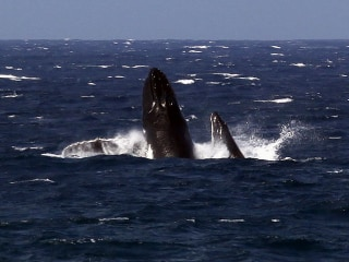 U.S. Proposes Taking Humpback Whales Off Endangered Species List