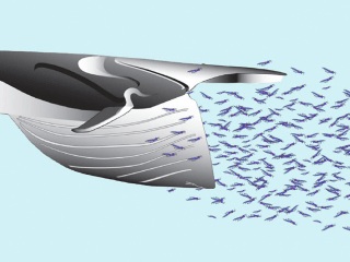 Open Wide: Giant Whales Use 'Bungee Cord' Nerves to Lunge Feed