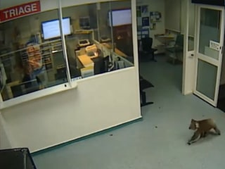 Nothing to See Here: Cute Koala Casually Sneaks Into Hospital