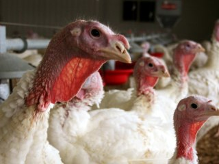 Talking Turkey: Bird Flu May Bite Supplies This Thanksgiving