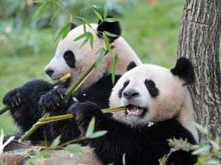 Wild Panda Killed, Dismembered, Sold as Meat: China State TV