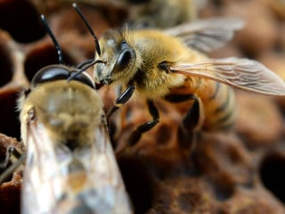 Parasite Infects Young Honey Bees, May Contribute to 'Colony Collapse'