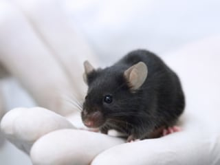 Umbilical Cord Compound Boosts Brain Power in Mice