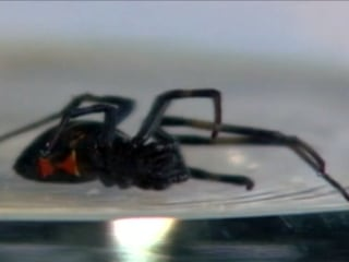 Woman Bitten By Black Widow Spider Hiding in Bag of Grapes?