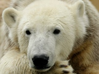 Biggest Threat to Polar Bears? Greenhouse Gases, USGS Says