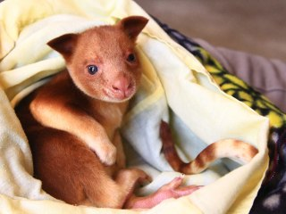 Orphaned Tree Kangaroo Raised By Surrogate Wallaby Mother at Adelaide Zoo