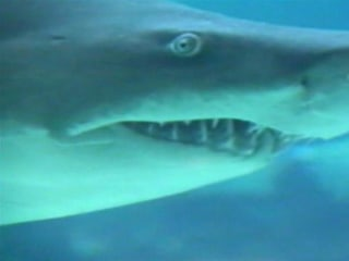 Why North Carolina Is Facing a 'Perfect Storm' for Shark Attacks