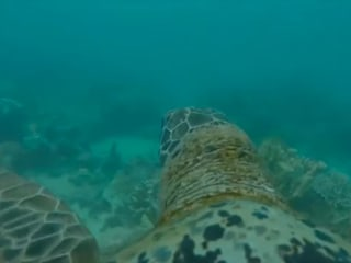 Explore Great Barrier Reef With GoPro-Wearing Turtle