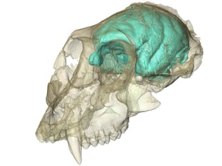 Secrets of 15-Million-Year-Old Monkey Skull Revealed