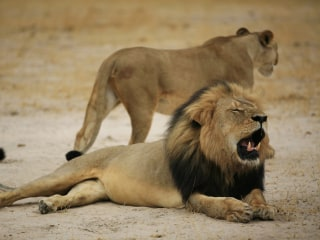 Cecil the Lion Killer Walter James Palmer Has Bear-Related Felony Record