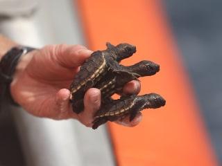 Tiny Baby Turtles Set Free into Vast Ocean