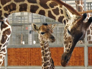 Baby Giraffe Kipenzi Dies After Running Into Wall at Dallas Zoo