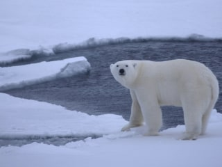 Are Polar Bears Skating on Thin (Arctic) Ice?
