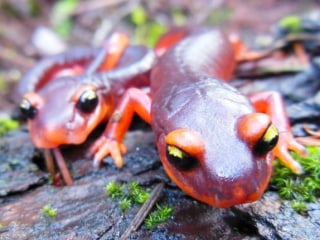 Scientists Want Ban on Salamander Imports to U.S. Due to Deadly Fungus
