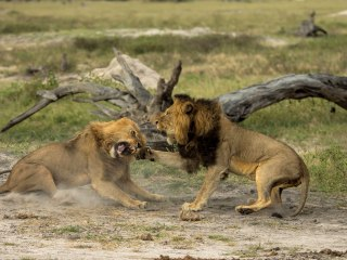 Cecil the Lion's 'Brother,' Jericho, Feared Dead: Conservation Group