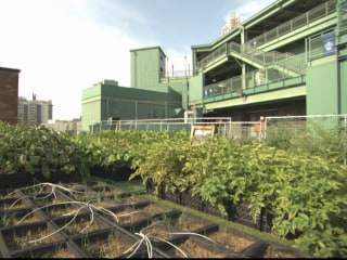 Farm System: Rooftop Garden Is a Hit at Boston's Fenway Park