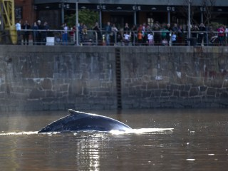 Lost Whale Guided to Open Waters in Argentina