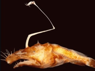 Yikes! Scary-Looking New Species of Anglerfish Discovered in Deep Ocean
