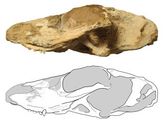'Scarface': Dachshund-Sized 'Pre-Mammal' Roamed Earth 255 Million Years Ago