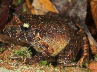 Beady-Eyed 'Robber Frog,' Creepy-Tongued Bat Discovered in Bolivia