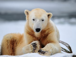 What Killed Knut the Polar Bear? Scientists Finally Have an Answer