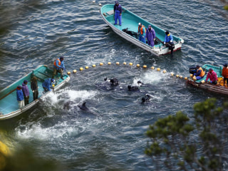Exclusive Video Exposes Dolphin Slaughter in Japan and Peru