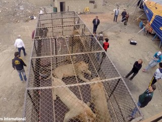 Rescued South American Circus Lions Head Back to Africa