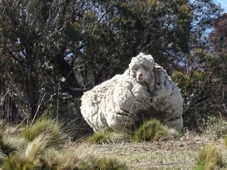 Sheep in Danger! Australians Issue Urgent Call for Shearers